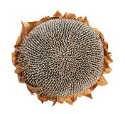 Dried sunflower seed Stock Photography