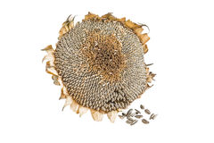 Dried sunflower and seed Stock Image