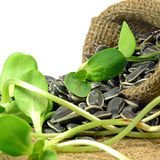 Dried sunflower seeds and Sprouts. Royalty Free Stock Photo