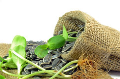 Dried sunflower seeds and Sprouts. Royalty Free Stock Photography