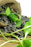 Dried sunflower seeds and Sprouts. Royalty Free Stock Images