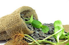 Dried sunflower seeds and Sprouts. Stock Photography