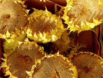 Dried Sunflowers Royalty Free Stock Images