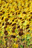 Dried sunflowers on field Royalty Free Stock Photo