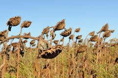 Dried sunflowers royalty free stock photography