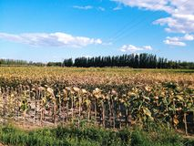 Dried sunflowers. Field with dried sunflowers in the countryside Royalty Free Stock Photography