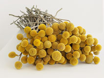 Dried sunny balls Stock Images