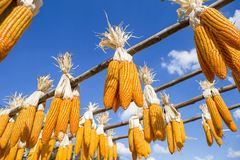 Dried sweet corn cop hanging on wooden rail Royalty Free Stock Images