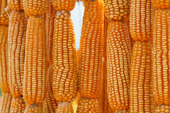 Dried sweet yellow corn Royalty Free Stock Photography