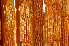 Dried sweet yellow corn Royalty Free Stock Images
