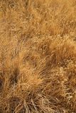 Dried Tall Grass Background Royalty Free Stock Image