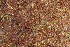 Dried tamarind leaves fall into the ground. During autumn Stock Photo