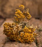 Dried tansy branches Stock Photos