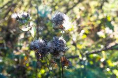 Dried thistle Carduus close up shot at sunset, beautiful background Stock Images
