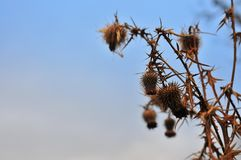 Dried thistle. Royalty Free Stock Image