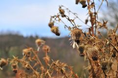 Dried thistle. Royalty Free Stock Photo