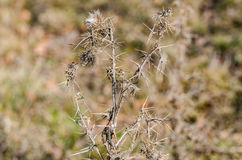 Dried thistle Royalty Free Stock Images