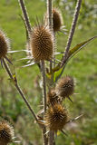 Dried thistle Stock Images