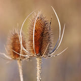 A dried Thistle Flower Stock Photography