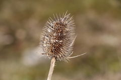 Dried thistle flower Stock Images