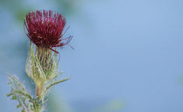 Dried thistle flower Stock Photos