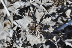 Dried thistle flowers on the island of Kos Royalty Free Stock Photos