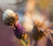 Dried thistle Royalty Free Stock Photography