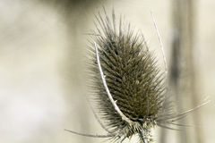 Dried Thistle. A dried Irish thistle sitting in the winter garden Royalty Free Stock Photos