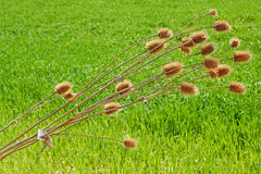 Dried thistle plant bent over wheat field Stock Photo