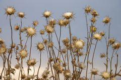 Dried thistle plants in Tuscany. Stock Photo