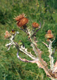 Dried thistle with prickles Stock Images