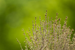 Dried thyme Royalty Free Stock Photo