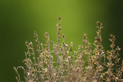 Dried thyme Royalty Free Stock Image