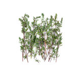 Dried thyme sprigs Royalty Free Stock Photos