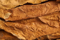 Dried tobacco leaves as background Stock Images