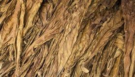 Dried tobacco leaves. Golden leaf background. Raw tobacco leaf under sun.