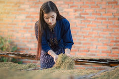 Dried tobacco leaves Lao girls are choosing the quality of the c Stock Image