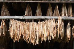 Dried Tobacco Royalty Free Stock Images
