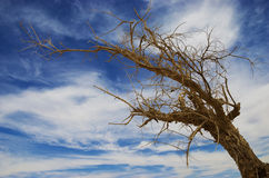 Dried tree Royalty Free Stock Photo