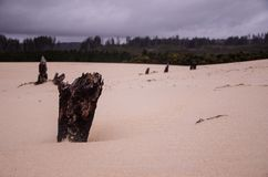 Dried Bark on a Sand Dunes, West Coast, Tasmania, Australia stock photography