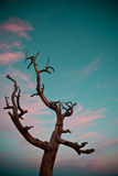 Dried tree. On a beautiful turquoise sky Stock Image