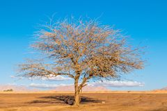 Dried tree on blue sky.  royalty free stock image