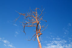 Dried tree with blue sky Stock Photos
