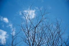 A dried tree branches with blue sky background. A dried tree branches in the winter season with blue sky background unique natural photo royalty free stock images