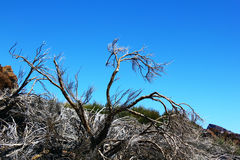 The dried tree in the desert. Desert near Teide volcano (Tenerife, Canarian Islands, Spain Stock Images