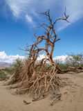 Dried tree in the Grand Canyon desert. Root surrounded by sand, with blue sky and some green bushes in background stock photography