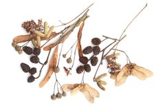 Dried tree inflorescences, flowers, fruits isolated on white background. Stock Image