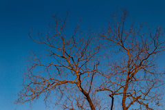 Dried tree. Just a dried big tree with clear sky. Not dead big tree Royalty Free Stock Photo