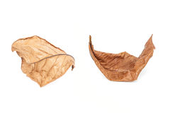 Dried tree leaf isolated on white on white background Royalty Free Stock Image