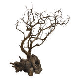 Dried Tree With Roots Royalty Free Stock Photography